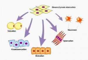 Wat-zijn-mesenchymale-stamcellen-MSC